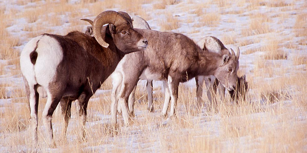 Bighorn sheep in Grand Teton National Park remain in the high mountains throughout the year.