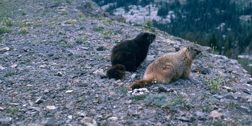 Although generally rare, a black melanistic form of the yellow-bellied marmot is common in the Tetons.
