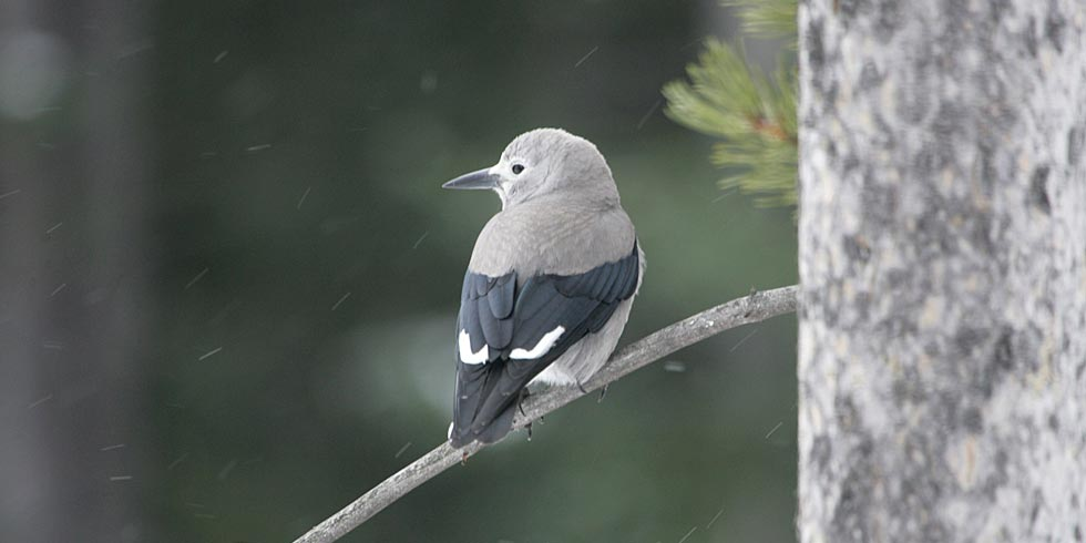 The Clark's nutcracker depends on healthy whitebark pine forests for its survival.