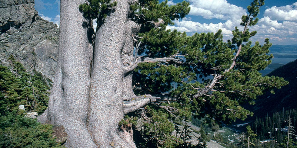Whitebark pines are facing threats: climate change, mountain pine beetle, white pine blister rust.