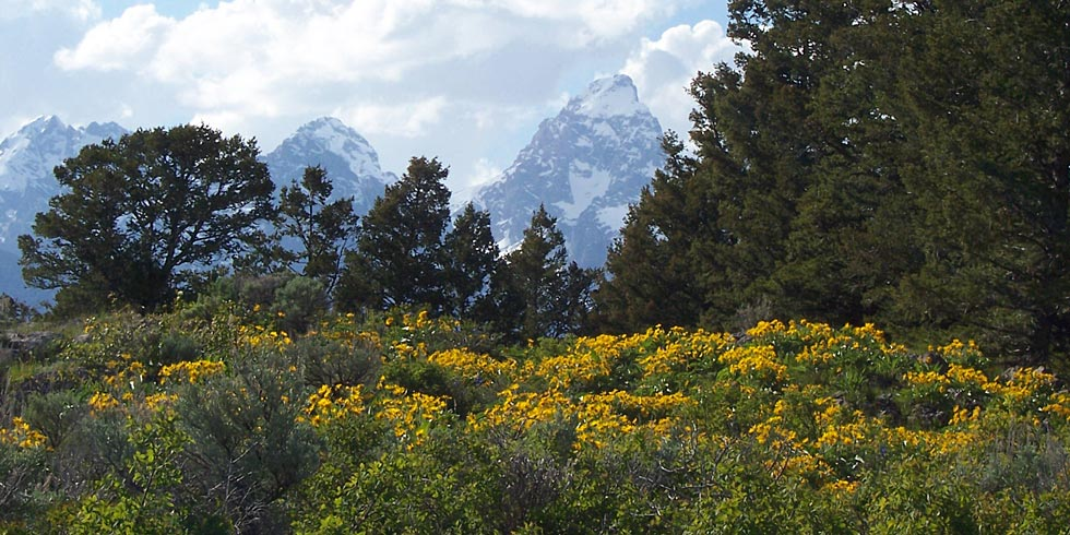 Mountain snows persist as spring and summer wildflowers bloom in the valley of Jackson Hole.