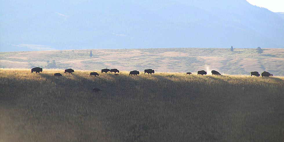 Sagebrush communities support iconic Western species such as bison, pronghorn and sage grouse.