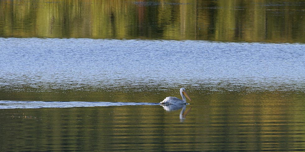 Park wetlands are home to a variety of species including the American white pelican. (Photo credit: Dan Ng)
