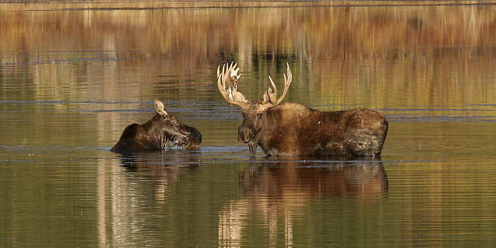 Moose feed extensively on aquatic vegetation and willows. (Photo credit: Dan Ng)
