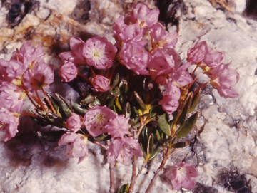 Alpine Laurel