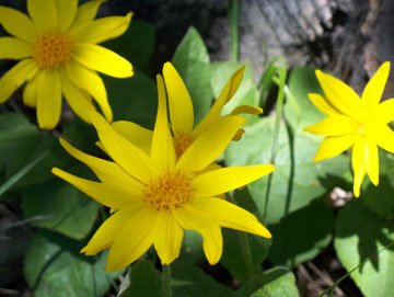 Heartleaf Arnica