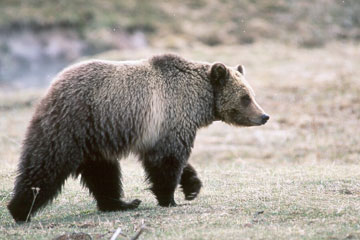 The US Fish and Wildlife Service lists the grizzly bear under the Endangered Species Act.