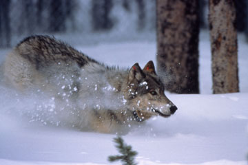 Wolves return to Grand Teton National Park after being absent for over 50 years.